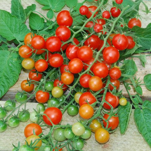 Plant World Seeds - Red Currant Tomato Seeds