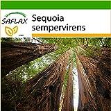 Redwood sempreverde 50 semi per pacchetto Con le istruzioni dettagliate per la propagazione di successo. Si consiglia l'utilizzo di substrato di fibra di cocco asettico e traspirante per una buona riuscita della coltivazione. La sequoia sempreverde p...