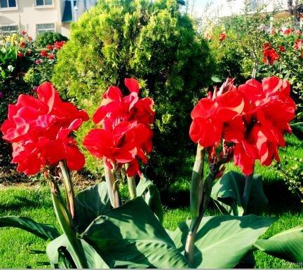 Canna Graines, diy plantes en pot, intérieur/extérieur Pot de germination Taux de 95% une variété de couleurs 20 Pcs/Sac J47 rouge