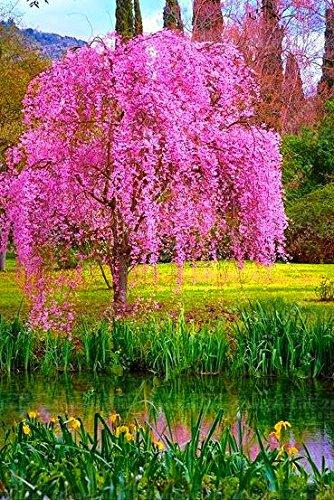 10 pcs/sac Weeping Graines Sakura, graines de fleurs de cerisier, bel arbre Sakura Bonsai Plante en pot Arbre Graines de fleurs pour jardin 2