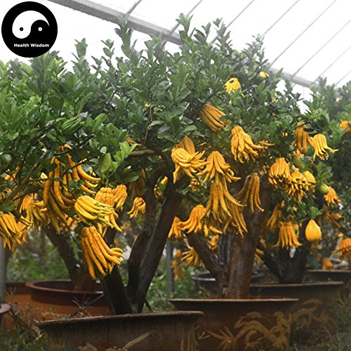kaufen Citrus Medica sarcodactylis Tree Seeds 120Pflanze Citron Bergamotte Baum