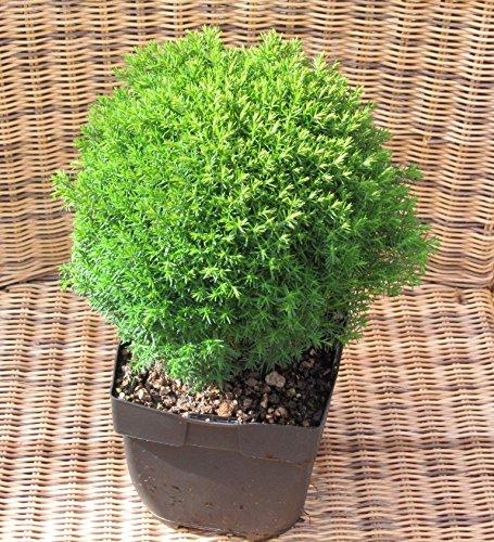 Thuja ''Teddy' - Zwerg-Lebensbaum -Zwergkonifere langsam wachsend im 17 cm Topf