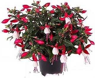 100/bag red Begonia Seed Bonsai, Fuchsia Flower, Lantern Flower, Begonia Flowers Bonsai seedshome Plant, Decorative Garden Begonia Flowers