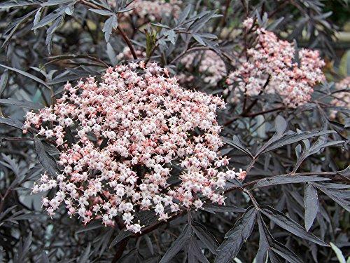 Holunderbeere / Flieder 'Black Lace' - Sambucus nigra Black Lace - Containerware 40-60 cm - Garten von Ehren®