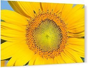 Flowering Sunflower in Summer Morning Sun Acrylic Wall Art Photo Print Carl Chapman 3414 (90x60cm (35.4×23.6in))