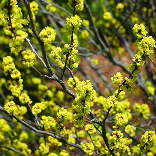 American Beauties Native Plants Lindera Benzoin (Spicebush) Shrub, 1-Size Container, Yellow Flowers
