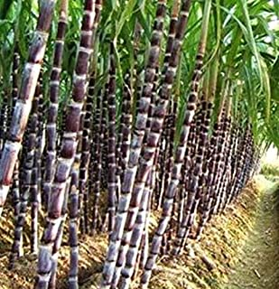 Best black sugar cane seeds Reviews