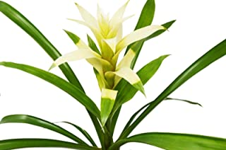 Guzmania Bromeliad 'White' - Live Plant - 1FT Tall - Free Care Guide - 4