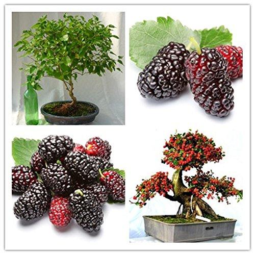 la nave libre 40seeds bolsas erry mulb Mulberry semillas de frutas bricolaje en casa los bonsai Morus Nigra del árbol, semillas de mora negra