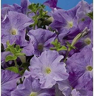 50 Petunia Hybrida Flower Seeds Perennial Heirloom Planting Change Organic