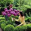 Ncient 10/20/50/100 Semi Sementi di Allium Giganteum Semi di Fiori Rari Piante Profumati per Orto Giardino Balcone Interni ed Esterni #3