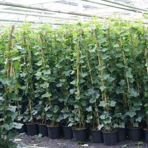 6 x Efeu 140-175 cm (Hedera Hibernica): 6 kaufen/ 4 bezahlen - 6 immergrüne echte Pflanzen für eine 1 Meter Sichtschutz Hecke (Blickdicht) | ClematisOnline Kletterpflanzen