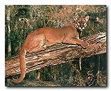 Florida-Puma Big Cat Animal Bild Poster Kunstdruck (40 x