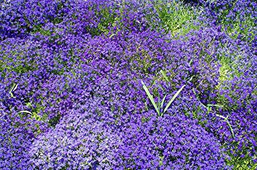 Blaukissen Blau 120 Samen, Aubrieta Blue