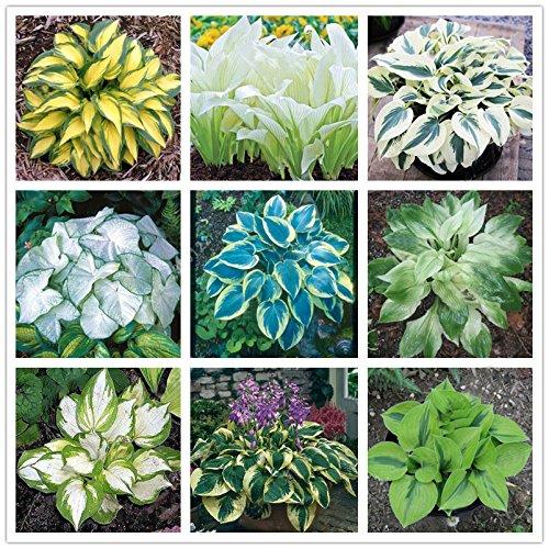 Bureze Egrow Pflanzensamen, 100 Stück, für mehrjährige Gartenpflanzen - Wegerich, Lilie, Hosta grün/gelb