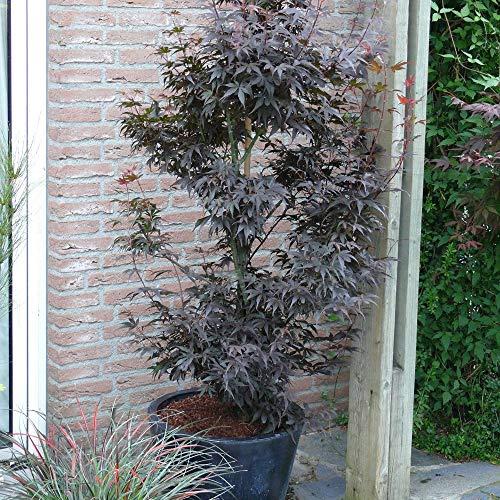 "Ahorn palmatum\""Skeeter\"" | Fächerahorn | Japanischer Garten | Höhe 50-60 cm | Topf Ø 19 cm"