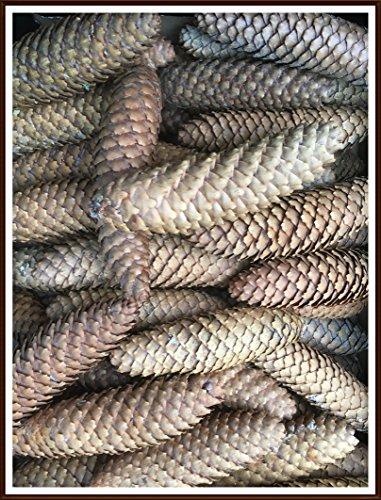 für Lagergenial 1 kg Tannenzapfen Zapfen Fichte-Zapfen trocken, Natur, unbehandelt