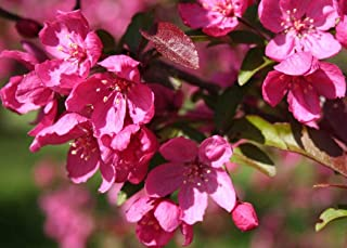 Malus x platycarpa Prairifire (Prairie Fire) - Crab Apple, Plant in 9cm Pot