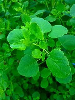 papalo seeds