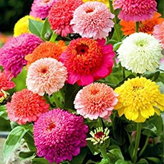 Solution Seeds Farm Rare Zinnia Scabiosa Flowered Mix Seeds, Professional Pack, 50 seeds, brushy big blooms flowers youth-and-old-age