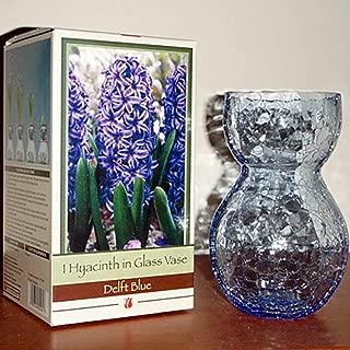 Glass Vase with Blue Hyacinth Bulb - 17/18 cm Bulb