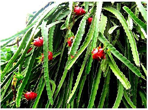 Drachenfrucht Hylocereus monacanthus Pflanze 5-10cm Pitaya Pitahaya Kaktus