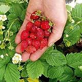 Suttons Seeds 179175 Regina Samen, für Erdbeeren