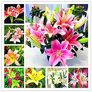 100pcs Lily Bulbs,Lilium Bulbs, Flower Bulbs Perennials,Lelies Exotic Indoor Plants Flower Bulbs Garden Bulbos De Flores :...