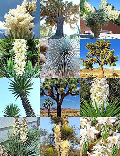 YUCA mezcla, rara palmera aloe flor exótica de agave semillas mezcladas suculenta 15 semillas