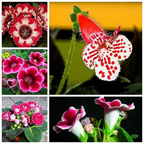 100pcs Livraison gratuite / 10 sortes Bonsai gloxinia Seeds 100% d'origine Graines bio Blooming fleur pour Maison & Jardin sac
