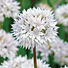 BRECK'S Graceful Allium - Includes 10 Bulbs - Due to State restrictions we Can't Ship to ID or WA