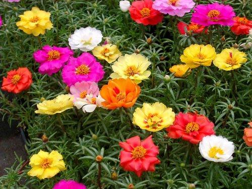 Portulaca Moss Rose Mix - 1000 Samen