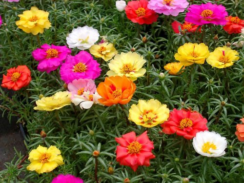 Portulaca Moss Rose Double Mix - 1000 Samen