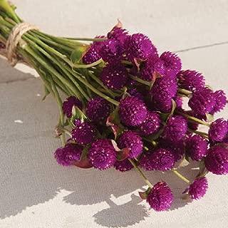 David's Garden Seeds Flower Gomphrena Purple SL4398 (Purple) 50 Non-GMO, Open Pollinated Seeds