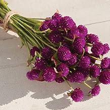 David's Garden Seeds Flower Gomphrena Purple 4399 (Purple) 50 Non-GMO, Open Pollinated Seeds