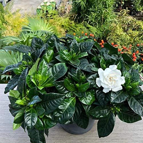 Gardenia jasminoides [Vaso Ø13cm]