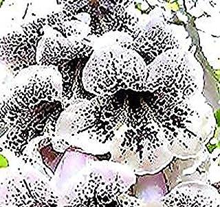 Big Pack - Paulownia fortunei Tree Seeds (5,000+), aka Dragon Tree, Fortunes Empress Tree, Sapphire Tree, Phoenix Tree - Non-GMO Seeds by MySeeds.Co