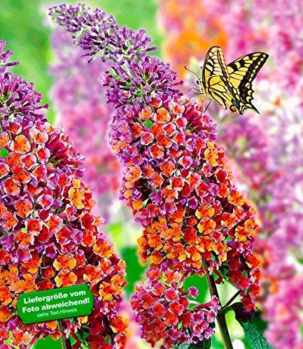 BALDUR-Garten Buddleia Sommerflieder 'Flower-Power' Schmetterlingsflieder Schmetterlingsstrauch Zierstrauch, 1 Pflanze Buddleja Hybride