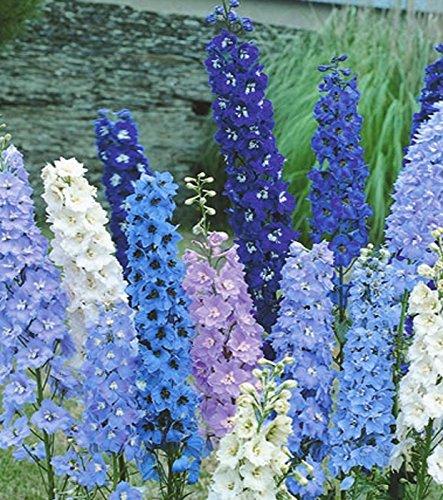 Rittersporn Delphinium Feine Farben...