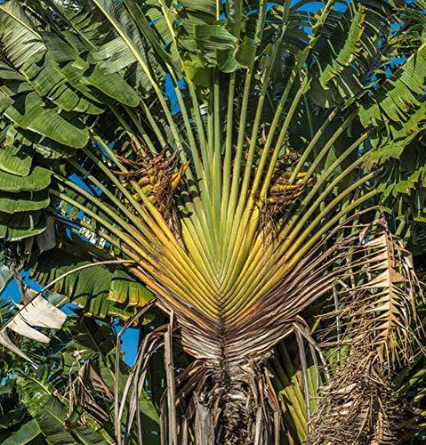 Ravenala guyannensis - Baum der Reisenden Südamerikas- (50 Samen)