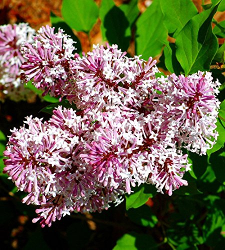 Miss Kim Manchurian Dwarf Lilac - Syringa - Outdoors/Bonsai - 4' Pot