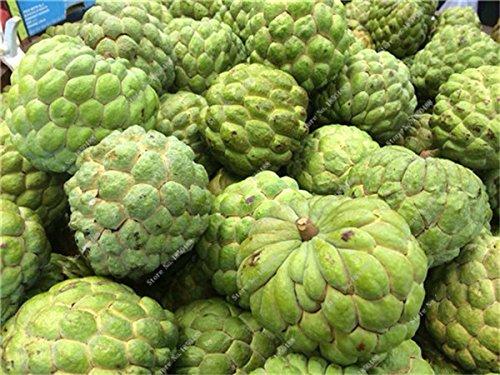 Japon Bonsai Annona Corossol Graine Heirloom Annona Graine de plantes en pot Juicy Fruit Succulent Graine Rare Outdoor vivace Arbre 5 Pc 17