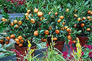 hardy orange tree