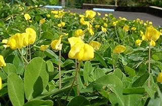5 Perennial Peanut Pinto Ground Cover Yellow Flower Arachis Pintoi Legume Seeds