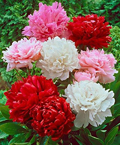 200 Graines semence fleur pivoine pompon double varié coloris mix rouge violet blanc rose pavot des jardins