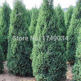 Hot Sale!!! Beautiful Evergreen trees Cypress Seeds, Parks/Roads/ garden Green plant seed - 50pcs