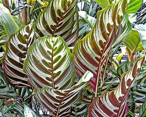 100 PCS Calathea graines comme Monster, Sementes De Flores, Feuillage des plantes Bonsai Pot, le meilleur cadeau pour Jardin Amant