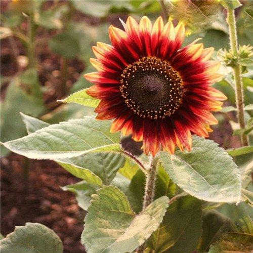 20 pcs/sac de graines de tournesol, graines de tournesol pour la plantation des graines de fleurs bonsaï croissance naturel pour le jardin de la maison Plantin 9
