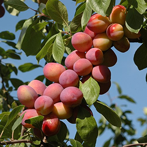 Plum Victoria Bare Root Fruit Tree