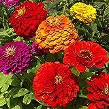 B/H Graines de rares,Fleur Graines,Zinnia Cosmos Gypsophila Tournesol Wildflower Combination-500g_O